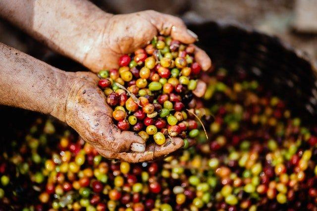 Zrnká kávy pred ich pražením